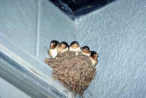 Barn_Swallow_Nest-1329