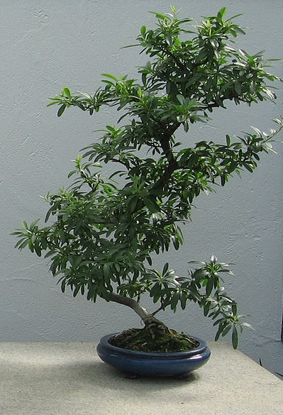 Pyracantha crenulata bonsa jardin botanique de montr al for Bonsai de jardin