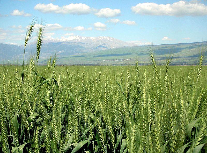 Israeli wheat field. Source: Wikimedia Commons