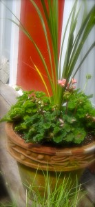 Dracaena and pelargonums...annual geraniums. Have to decide where to put the true ones, scented geraniums (Prince of Orange).