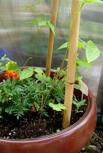 Marigolds and scarlet runner beans. A bean pole pyramid of bamboo.